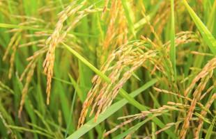rice-1594612_960_720